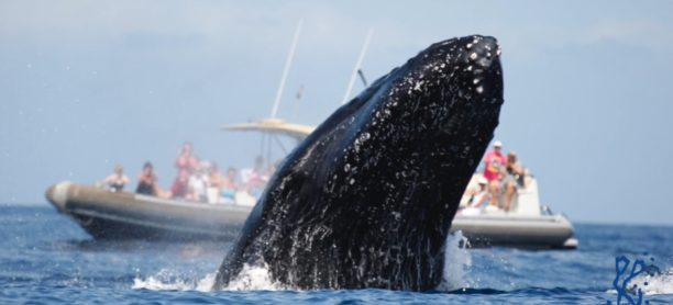 Whale watch video for Maui Adventure Cruises